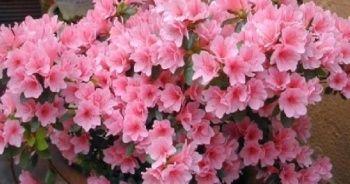 Açelya Bakımının Püf Noktaları Nelerdir? Açelya çiçeği bakımı nasıl yapılır?