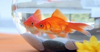 Japon balığı bakımı ve beslemenin püf noktaları