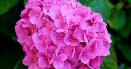 Ortanca Çiçeği Nasıl Renklendirilir? Ortancalar nasıl pembe olur?