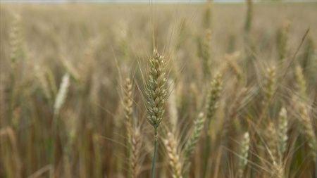 Trakya'da son yağışlar ekinleri başaklarla doldurdu