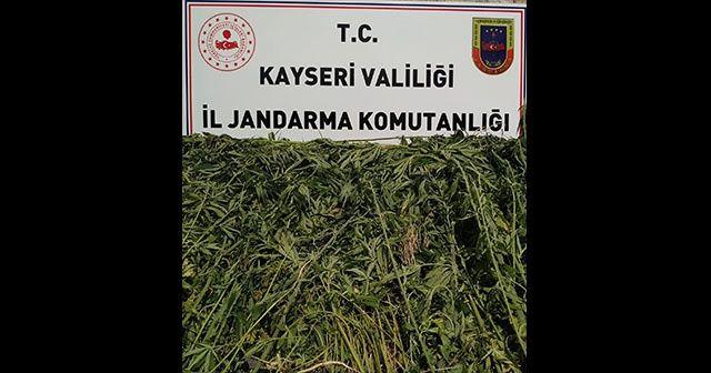 Kayseri'de bin 708 kök kenevir ele geçirildi
