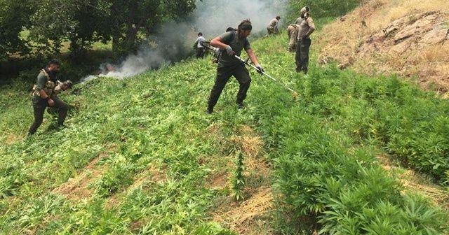 Narko terör operasyonu: 7 milyon kenevir ele geçirildi, 8 gözaltı
