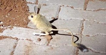 Dünyanın en ilginç 19 hayvanından biri Adıyaman'da görüldü