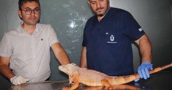 Üsküdar'da 1 metre 12 santimetre boyunda iguana bulundu