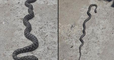 Dev yılan büyük panik yaşattı