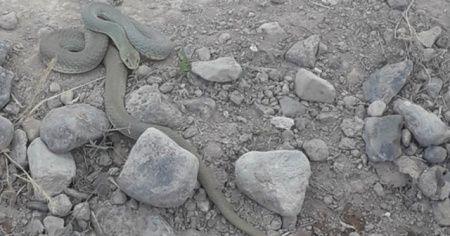 Kavurucu sıcaklarda yılan uyarısı