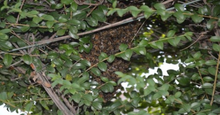 Kovandan firar eden arılar ağaca kondu