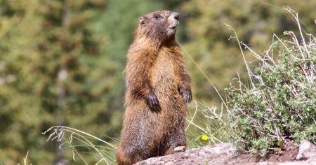 Marmot eti yiyen 2 kişide  veba tespit edildi