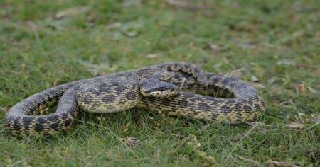 Uzmanından yılan-deprem ilişkisi açıklaması