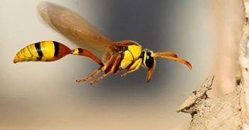 Arı sokmasına ne iyi gelir evde arı sokmasına ne yapılır