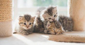 Kedinin cinsiyeti nasıl anlaşılır, Yavru kedinin cinsiyete nasıl bakılır?