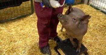 Musk, beynine çip yerleştirilen domuzları tanıttı