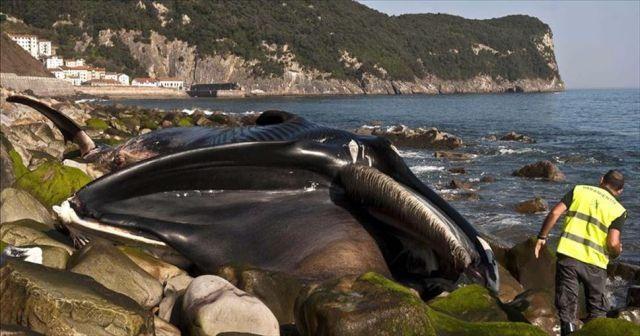 Avustralya'da sığ sularda mahsur kalan balinalardan en az 90'ı öldü