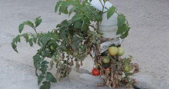 Gören hayret ediyor, bu domates betonda yetişiyor