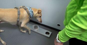 Helsinki Havalimanı'nda Kovid-19'u tespit etmek için eğitimli köpekler kullanılacak