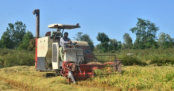 Pirinç diyarı Terme'de çeltik hasadı başladı