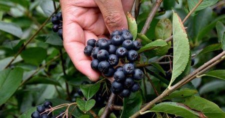 'Süper meyve' üreticilerin gelir kapısı olacak