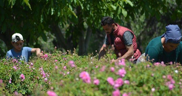 Isparta'da gül çiçeği taban fiyatı açıklandı