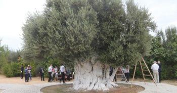 Anıt ağacın zeytini Cumhurbaşkanı Erdoğan'a gönderilecek