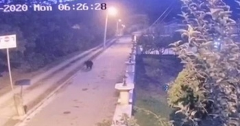 Sakarya'da mahalleye inen ayı panik oluşturdu