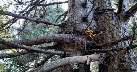 Aynı kökte birbirine sarılı iki farklı ağaç görenleri şaşırtıyor