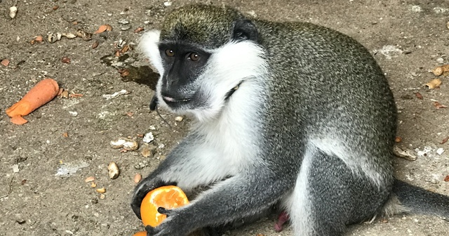 Sahibinin terk ettiği tropikal maymun koruma altına alındı