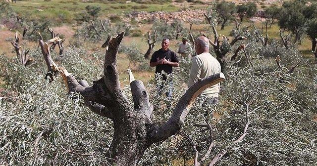 Yasa dışı yerleşimciler zeytin ağaçlarını kesiyor