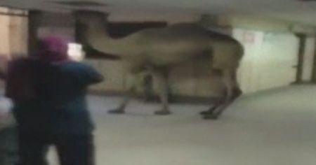 Mısır'da hastaneye giren deve görenleri şaşırttı