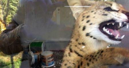Sakarya'da fiyatı 70 ila 150 bin lira arasında değişen vahşi kedi ele geçirildi