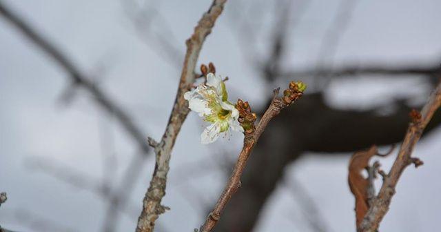 Erik ağacı kış ortasında çiçek açtı