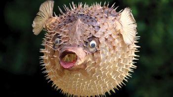 Balon Balığı (Kurbağa Balığı) Neden Zararlı? Balon Balığı Nasıl Zehirler? Balon Balığı Yenirse Ne Olur?