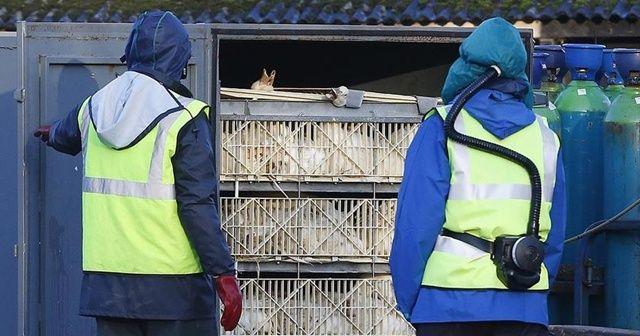 H5N8'in ilk kez insanlara bulaştığı belirtildi
