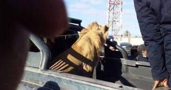 Sokakta dolaşan aslan paniğe neden oldu