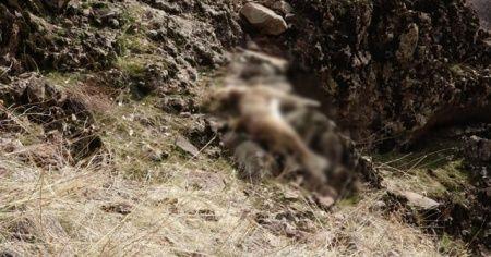 Tunceli'deki yaban keçisi ölümlerinin nedeni belli oldu