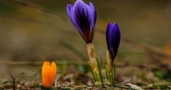 Baharın müjdecisi kardelenler çiçek açtı
