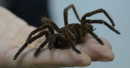 """Avustralya'da ölümcül """"örümcek istilası"""" paniği"""