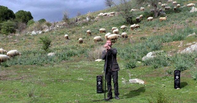 Koyunlarını konser vererek otlatıyor