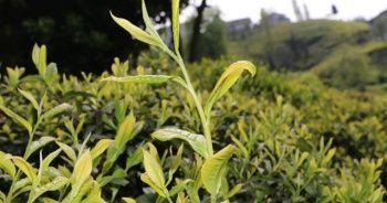 Çay üreticileri taban fiyatta artış istiyor