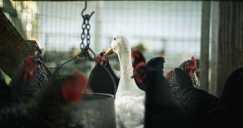 Danimarka'da 19 bin kaz ve ördek itlaf ediliyor