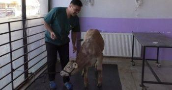 Kars'ta hayvanlarda virüs tespit edildi