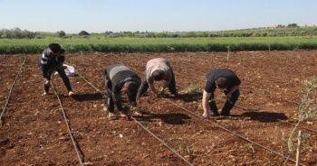İşçi bayramında tarım işçileri sahada çalışıyor