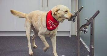 Köpekler Kovid'i hızlı testlerden daha iyi tespit ediyor