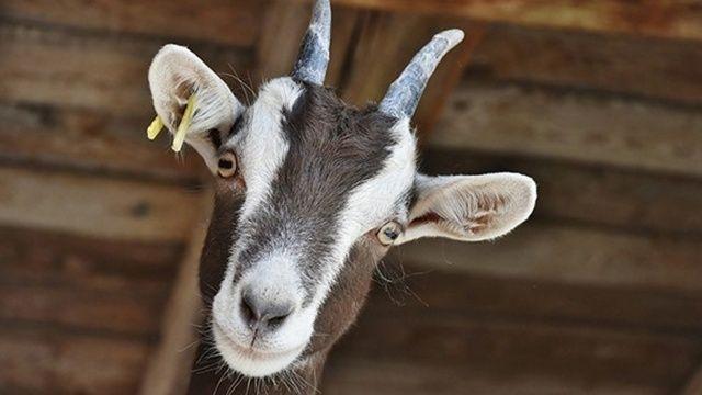Alkolün etkisiyle başkasına ait keçiyi evine götürdü