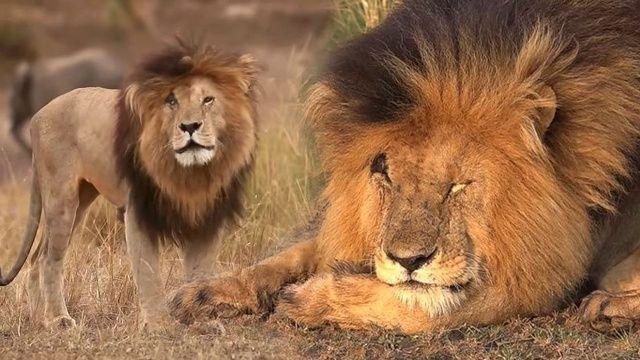 Dünyanın en ünlü aslanı 'Yaralı Yüz' 14 yaşında öldü
