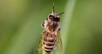 Arılar arasında yeni bir hastalık yayılıyor: Topluca ölüyorlar