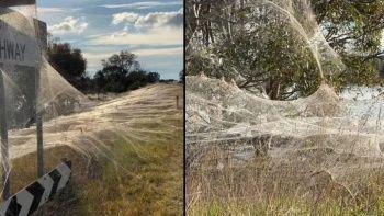 Örümcek ağları doğayı battaniye gibi sardı