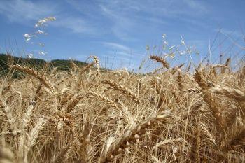 Buğday altın çağını yaşıyor!
