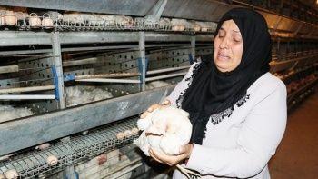 Binlerce tavuk havalandirma yüzünden telef oldu