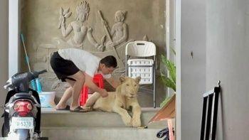 TikTok fenomenliği uğruna dişleri pençeleri sökülen aslan kurtarıldı