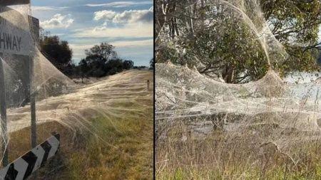 Avustralya'da örümcek ağları doğayı battaniye gibi sardı